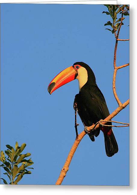 Toco Toucan Greeting Card by Bruce J Robinson