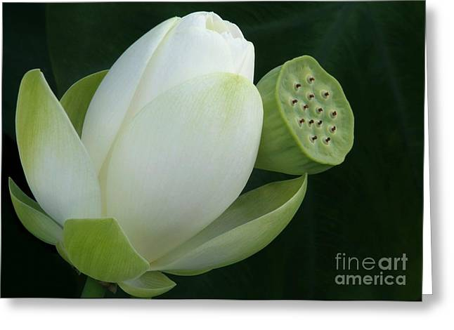 Lotus Seed Pod Greeting Cards - Today and Yesterday Greeting Card by Sabrina L Ryan