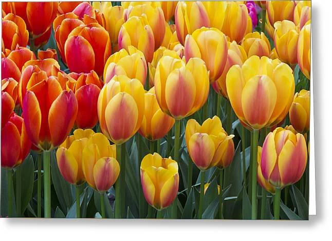Keukenhof Gardens Greeting Cards - Together We Stand Greeting Card by Eggers   Photography