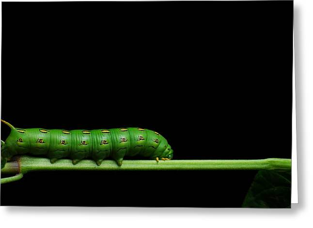 Caterpillar Greeting Cards - Tomato Hornworm Greeting Card by Noah Bryant