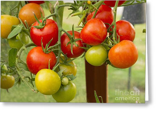 Fresh Food Greeting Cards - Tomatoes Greeting Card by Louise Heusinkveld