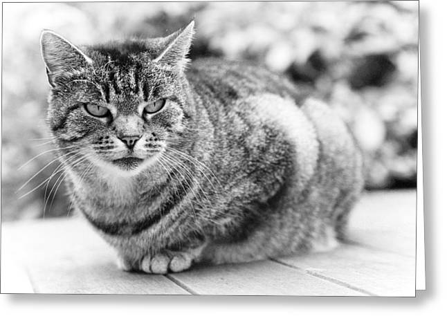 Cute Kitten Greeting Cards - Tomcat Greeting Card by Frank Tschakert