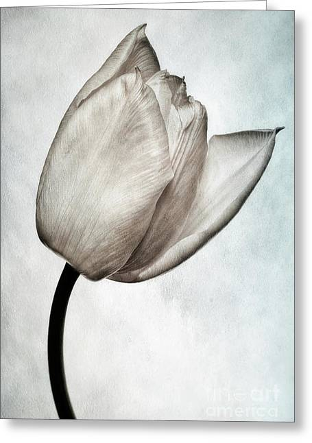 Fragility Photographs Greeting Cards - Toned Tulip Greeting Card by John Edwards