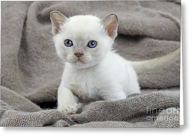 On Blanket Greeting Cards - Tonkinese Kitten Greeting Card by Jean-Michel Labat