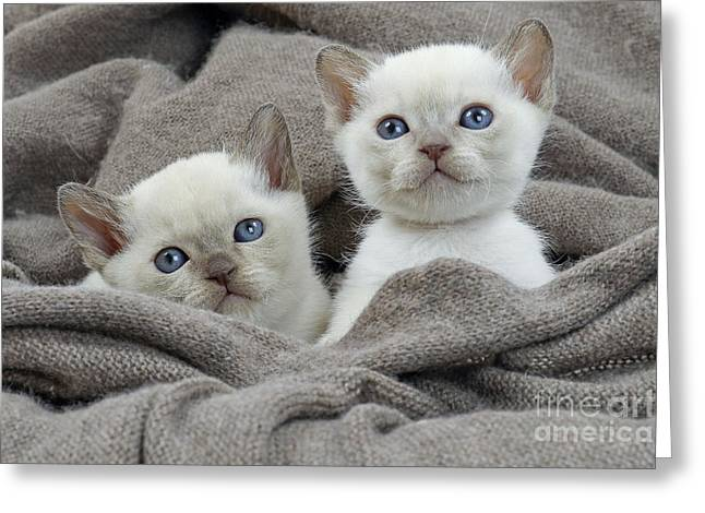 Tonkinese Greeting Cards - Tonkinese Kittens Greeting Card by Jean-Michel Labat