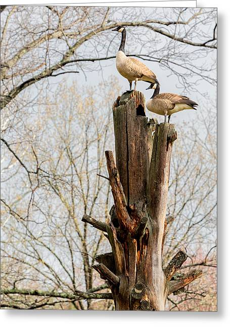 Geese Greeting Cards - Top Of The World Greeting Card by Bill Wakeley