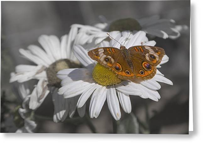 Topsail Butterfly Greeting Card by Betsy C Knapp