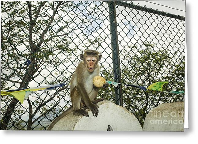 Toque Macaque Greeting Card by Patricia Hofmeester