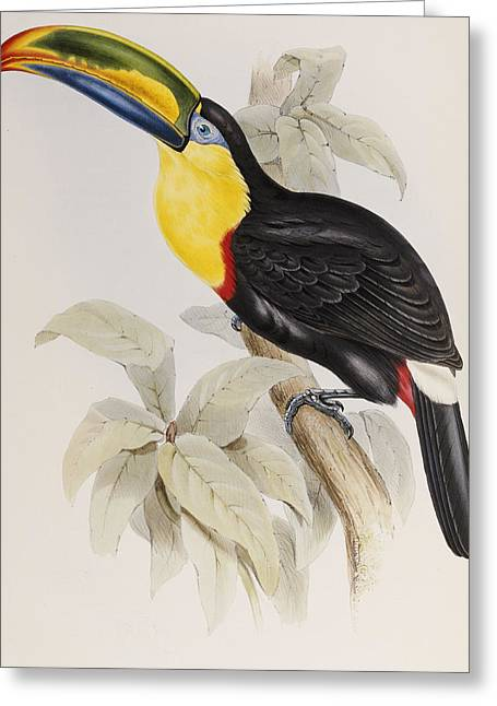 Toucan Greeting Card by John Gould