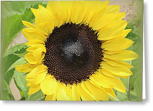 Decorate Greeting Cards - Touched By the Sun - Sunflower Greeting Card by  Photographic Art and Design by Dora Sofia Caputo