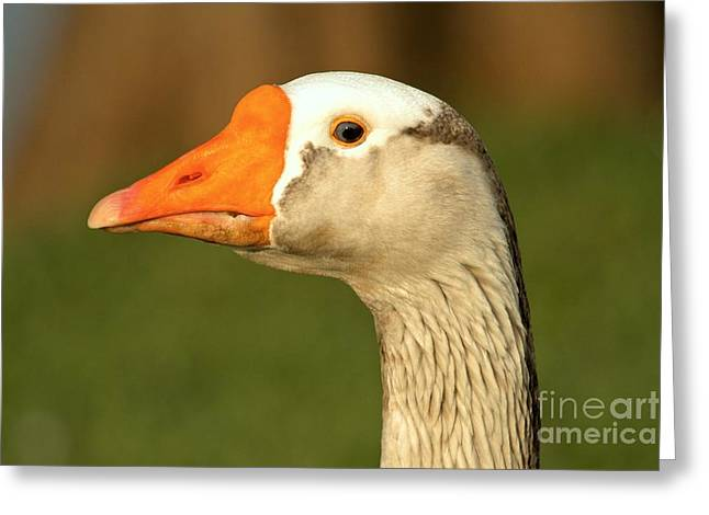Toulouse Goose Close Up Greeting Card by Adam Jewell