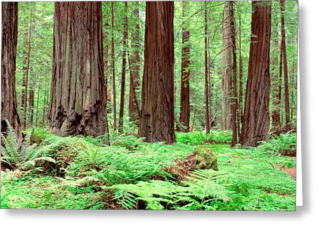 Trail, Avenue Of The Giants, Founders Greeting Card by Panoramic Images