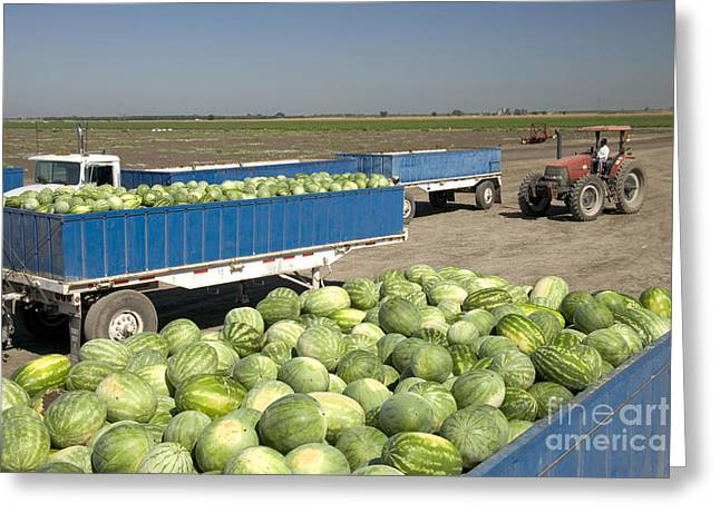 Watermelon Photographs Greeting Cards - Trailers Full Of Watermelons Greeting Card by Inga Spence