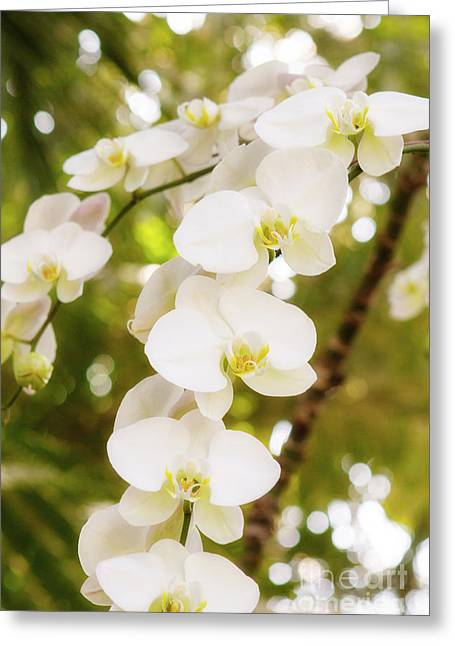 Trailing Orchids Greeting Card by A New Focus Photography