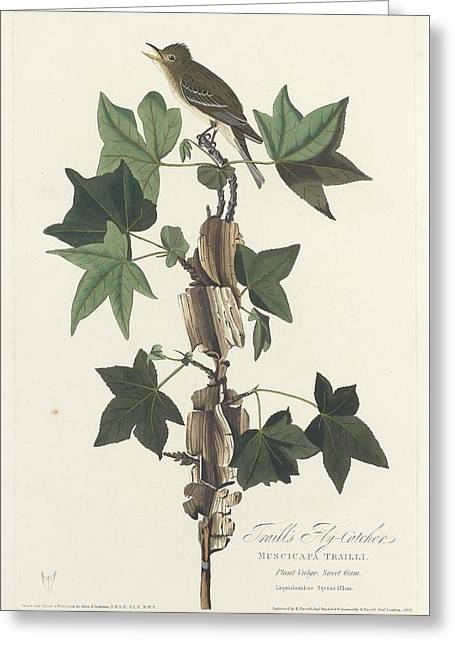 Small Bird Greeting Cards - Traills Flycatcher Greeting Card by John James Audubon
