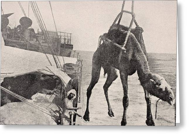 Transfer Drawings Greeting Cards - Transferring Camel From Ship To Land In Greeting Card by Ken Welsh