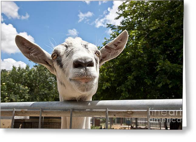 Uc Davis Greeting Cards - Transgenic Goat Peering Over Fence Greeting Card by Inga Spence