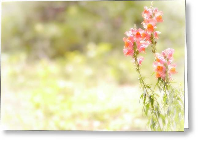 Snapdragons Greeting Cards - Translucent Snap Dragon Greeting Card by Marcie  Adams