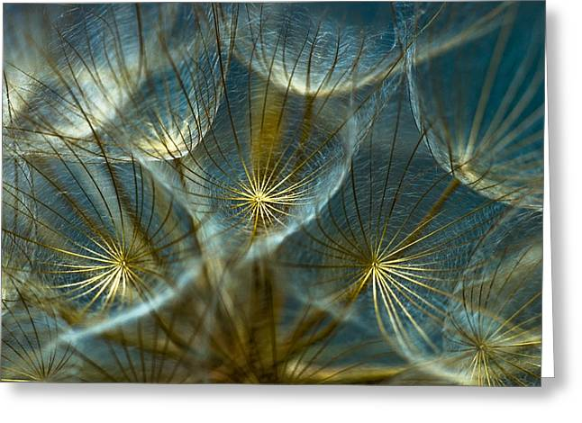 Macro Greeting Cards - Translucid Dandelions Greeting Card by Iris Greenwell