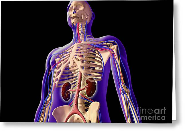 Interchondral Ribs Greeting Cards - Transparent View Of Human Body Showing Greeting Card by Stocktrek Images