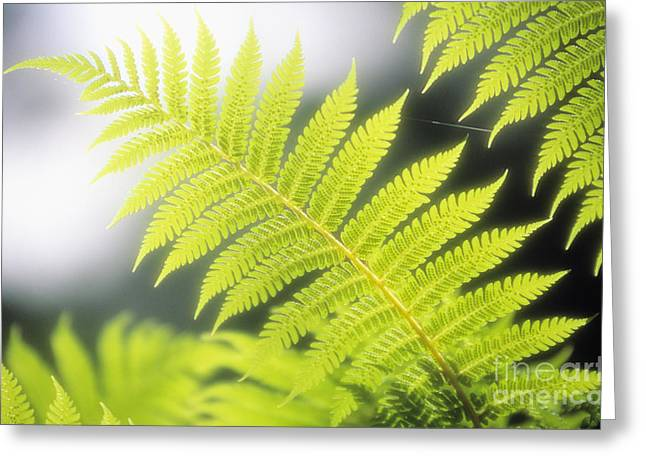 Backlit Greeting Cards - Tree Fern Greeting Card by Ron Dahlquist - Printscapes