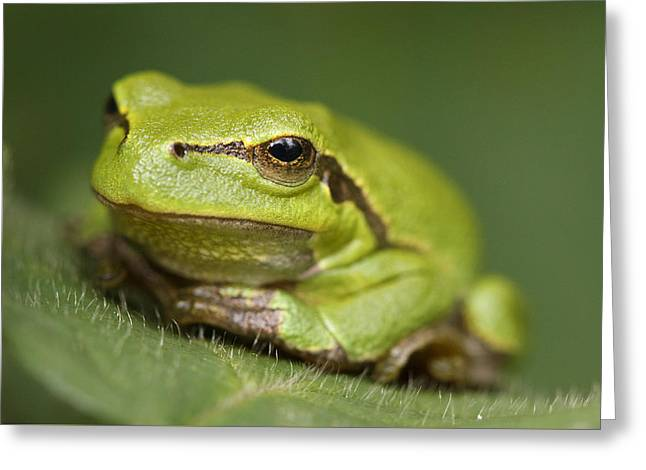 Tree Frog Greeting Cards - Tree Frog Cose up Greeting Card by Roeselien Raimond
