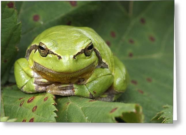 Tree Frog En Face Greeting Card by Roeselien Raimond