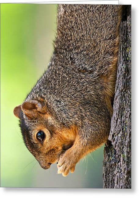 Fox Squirrel Photographs Greeting Cards - Tree Hugger Greeting Card by James Marvin Phelps
