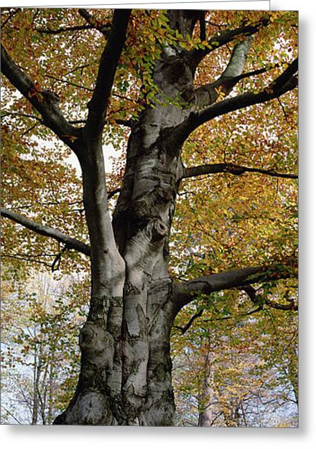 Forest Habitat Greeting Cards - Tree In The Black Forest, Germany Greeting Card by Konrad Wothe
