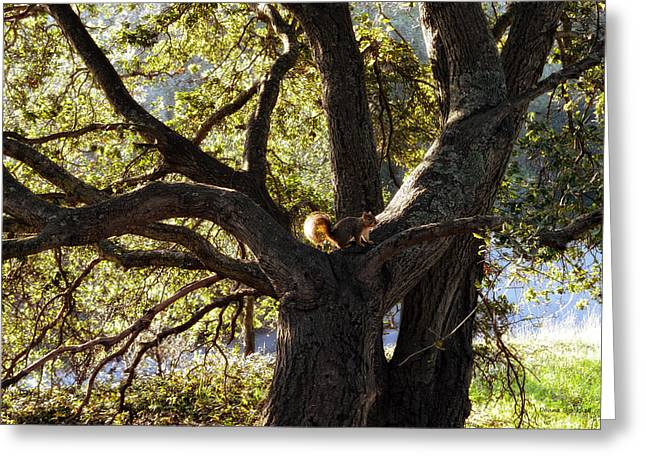 Lafayette Reservoir Greeting Cards - Tree King Greeting Card by Donna Blackhall