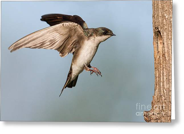 Zoology Greeting Cards - Tree Swallow Approach Greeting Card by Jerry Fornarotto