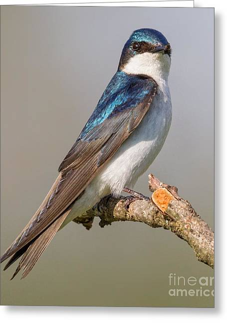 Zoology Greeting Cards - Tree Swallow Perched Greeting Card by Jerry Fornarotto