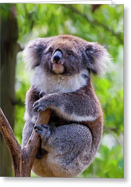 Koala Photographs Greeting Cards - Treetop Koala Greeting Card by Mike  Dawson