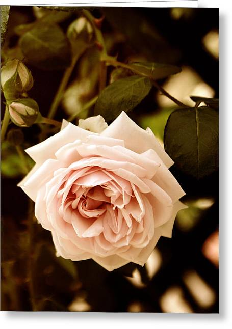 Trellis Digital Greeting Cards - Trellis Rose Greeting Card by Jessica Jenney