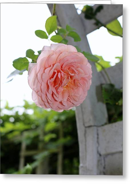 Rose Petals Greeting Cards - Trellis Rose Greeting Card by Renee Olmsted