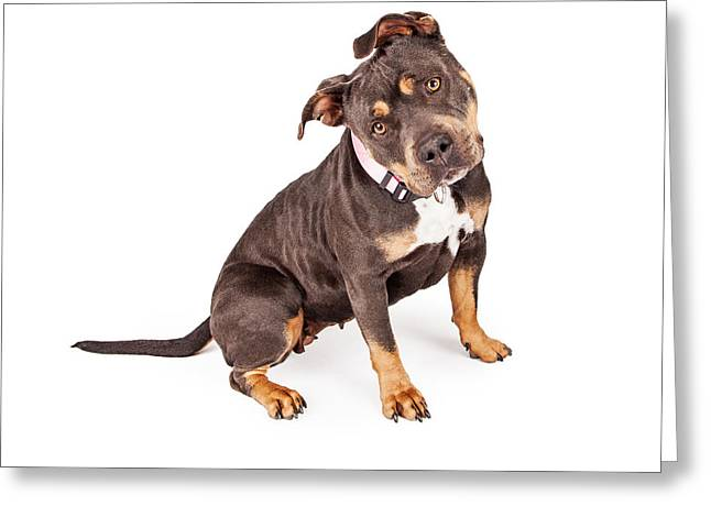 Mutt Greeting Cards - Tri Color Pit Bull Dog Tilting Head Greeting Card by Susan  Schmitz