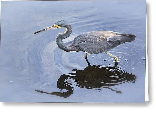 Tri Colored Greeting Cards - Tri-colored Heron Fishing  Greeting Card by Saija  Lehtonen