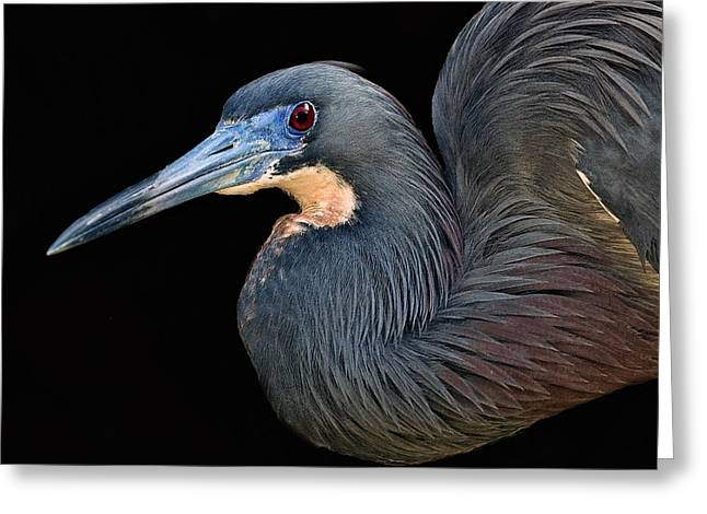 Tri Colored Greeting Cards - Tri-colored Heron Greeting Card by Larry Linton