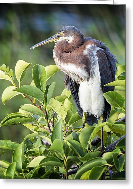 Tri-colored Heron Greeting Cards - Tri-colored Heron on Guard  Greeting Card by Saija  Lehtonen