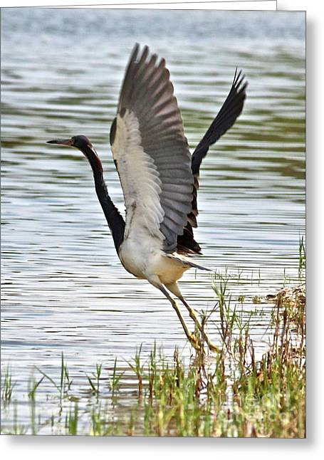 Tri Colored Heron Takeoff Greeting Card by Carol Groenen