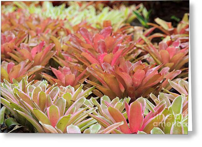 Tricolor Bromeliad Greeting Card by Jamie Gray