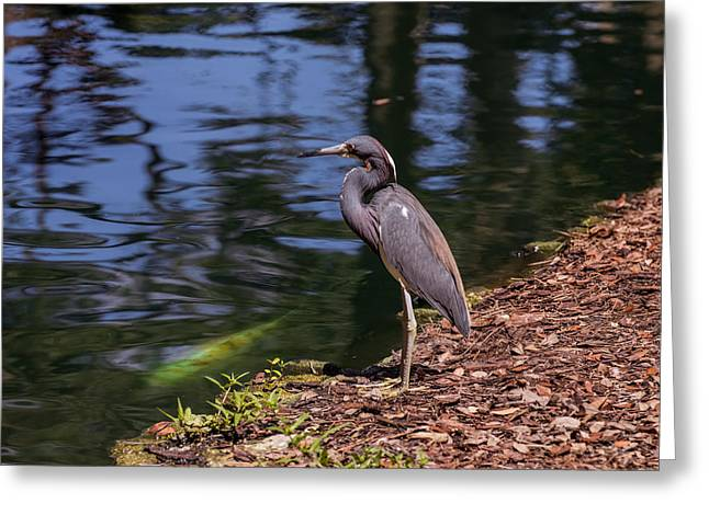 Egret Greeting Cards - Tricolored heron and koi Greeting Card by Zina Stromberg