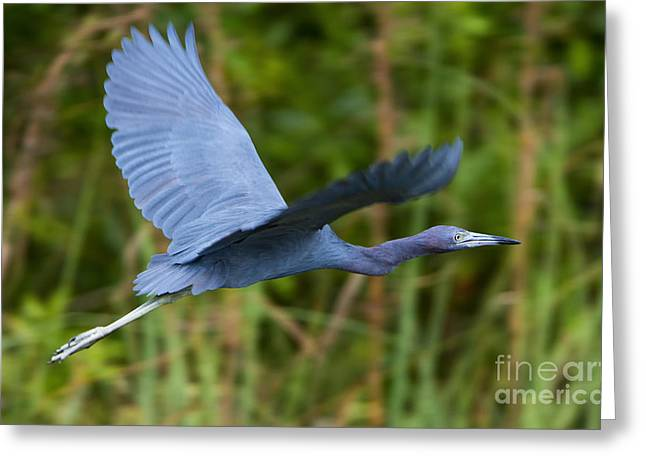 Tricolored Heron Flight Greeting Card by Mike Dawson