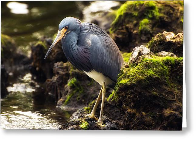 Tricolored Heron Greeting Card by Rich Leighton