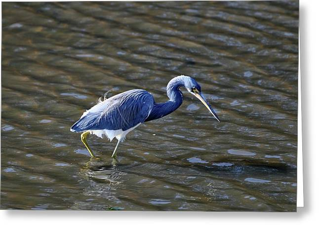 Tri-colored Heron Greeting Cards - Tricolored Heron Wading Greeting Card by Al Powell Photography USA