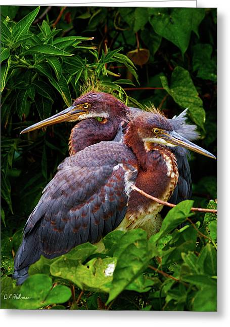 Tricolored Siblings Greeting Card by Christopher Holmes