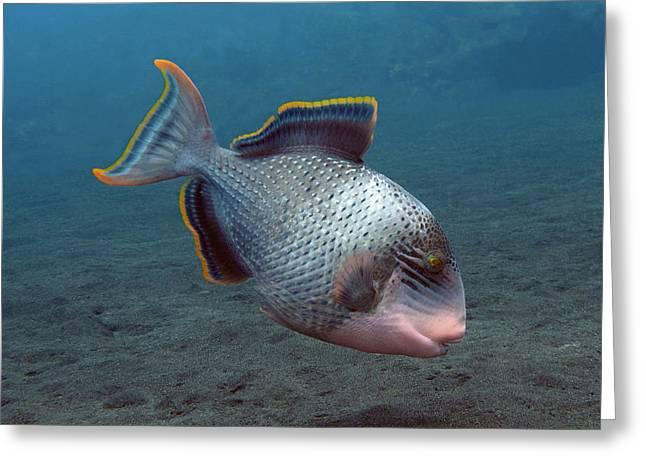 Underwater Photos Greeting Cards - Triggerfish Greeting Card by Sergey Lukashin