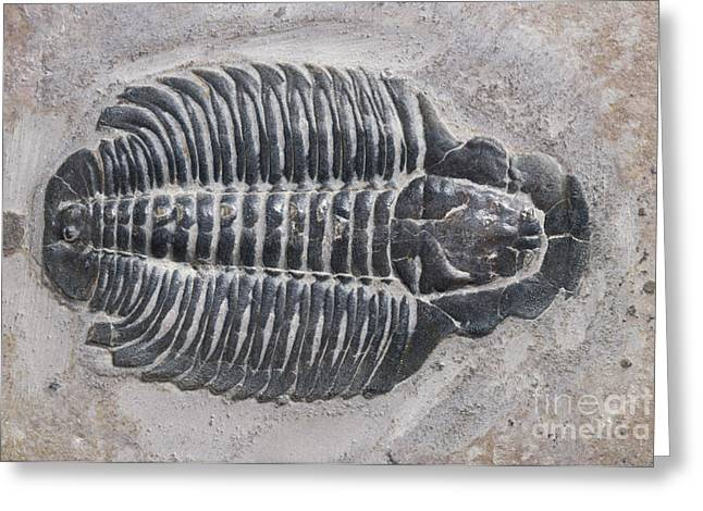 Science Collection - Greeting Cards - Trilobite Greeting Card by Robert J Erwin and Photo Researchers