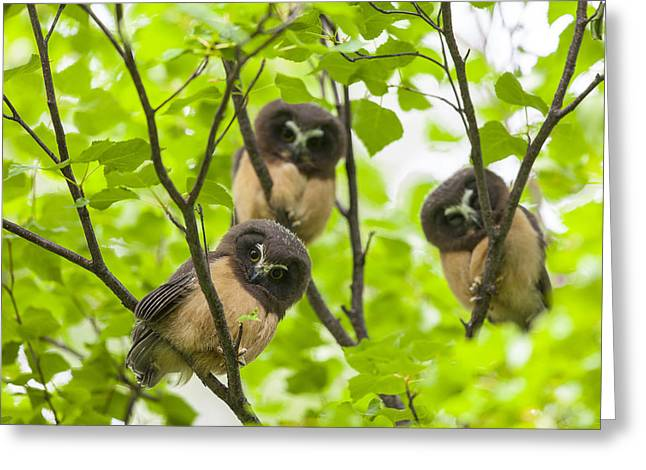 Fledglings Greeting Cards - Trio of Fledglings Greeting Card by Tim Grams