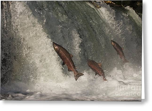 Chinook Greeting Cards - Trio of Jumping Salmon Greeting Card by Tim Grams